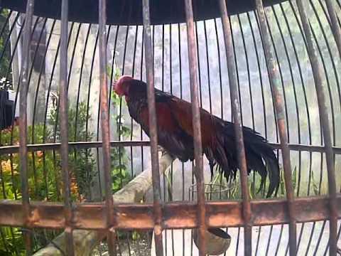 Ayam Bekisar Rajin Berkokok video