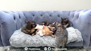 Tiny kittens on a tiny sofa!  TinyKittens.com
