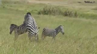 Attempted Zebra Matting Video in Serengeti National Park, Tanzania