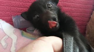 The Sweetest, Cutest, Loving Baby Bat Lily Please Don't Be Jealous With Happy Noises At End.
