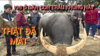 DTVN - Anh nông dân  sở hữu 2 con trâu khủng | chợ trâu Bắc Hà Lào Cai