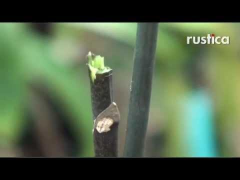 Tailler pour faire refleurir un phalaenopsis d fleuri - Comment couper un potiron pour la soupe ...