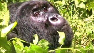 Virunga National Park. DR Congo. Гориллы в НП Вирунга.Конго.
