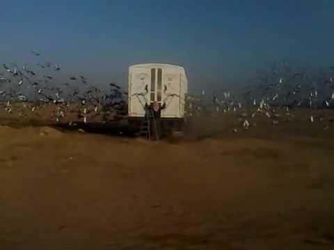 kuwait racing pigeon