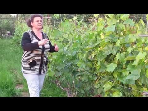 """Прививка винограда """"зеленым в зеленое"""" - самая легкая и простая, приживаемость 100%- попробуйте!"""