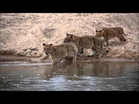 Amazoncom Lafcadio The Lion Who Shot Back