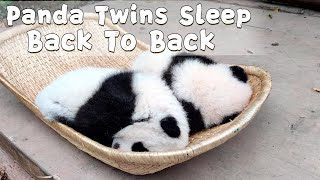 Panda Twins Sleeps Back To Back In A Basket | iPanda