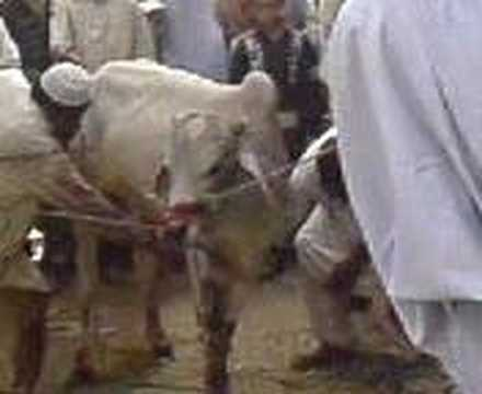 Cow Qurbani Video video