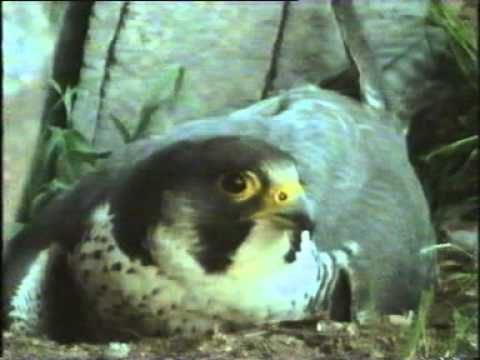 BBC Wildlife on Two Peregrine Falcon part2