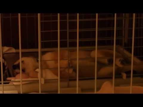 【柴犬よつば】ぴくぴく寝