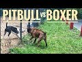 Pit bull vs Boxer dog attack