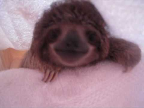 The cutest baby sloth in the world ever