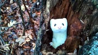 Ermine in a Tree