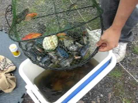 Catching Wild African and American Cichlids in Australia