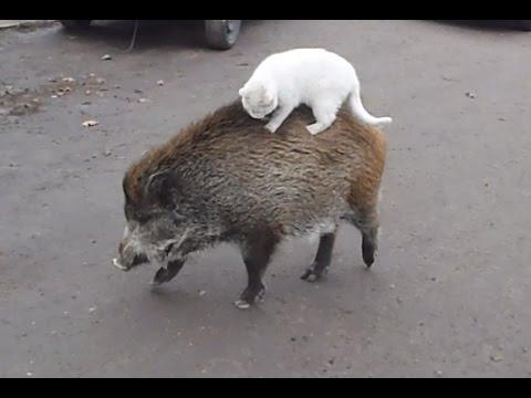 Дикая свинья и кот.