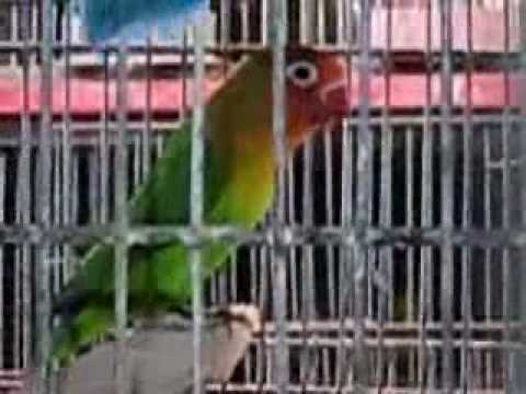 Syed Shujaat Ali Birds Farm  Part 6 (Love Birds)  Steel Town Gulshan-E-Hadeed Karachi