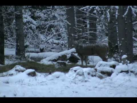 Huge Saskatchewan whitetail deer shot!