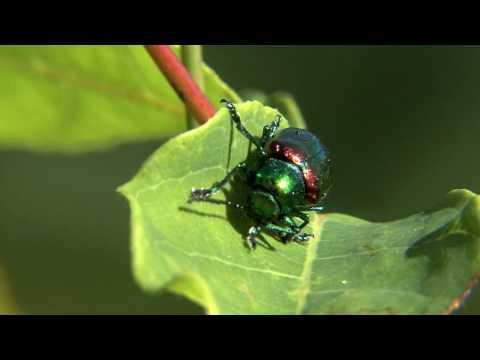 Dogbane Leaf Beetle Nature Walks with Mark Fraser
