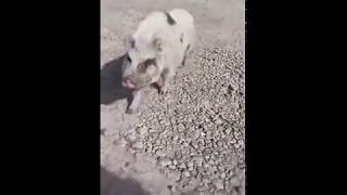 Ryland Adams Bonds With a Pig