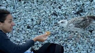 Я чайка - хлеб не ем, СЫР ЕМ! Ручная чайка на пляже в Крыму