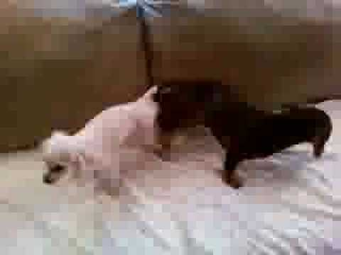 Mating Dog Videos | Mating Dog Video Codes | Mating Dog Vid Clips