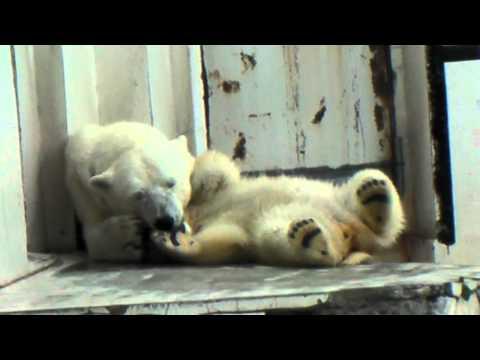 ホッキョクグマ ララと赤ちゃんが眠るまで..  円山動物園 PolarBear