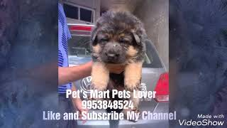 Pet's Mart Pets Lover Present New Video for GSD Puppies