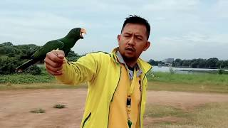 Rhie Rhie Eclectus parrot free flight