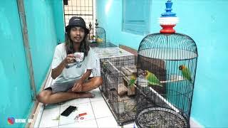 LOVEBIRD DALAM KOLONI