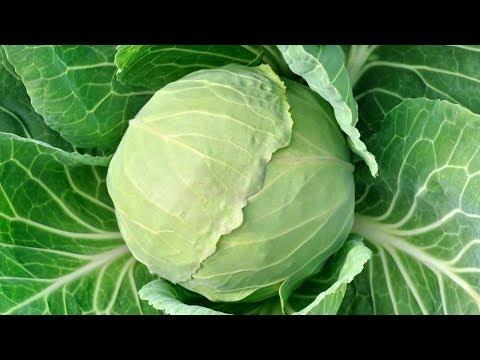 Как часто и сколько поливать капусту? Все о поливе капусты?