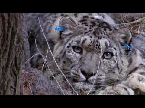 Tagging a predator on the hunt - Snow Leopard: Beyond the Myth - BBC