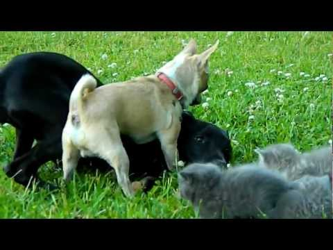 Brave Chihuahua protects Kittens!