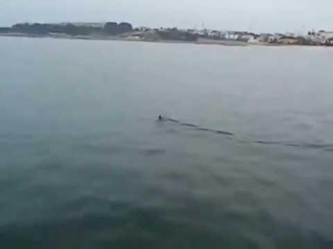 Tubarão na praia do Saisa em St. Amaro de Oeiras