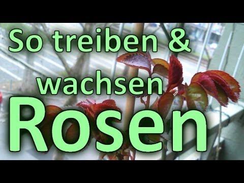 So Treiben & Wachsen Rosen / Frühjahr Frühling 2013 / In Balkon Kübeln / Blumentöpfen