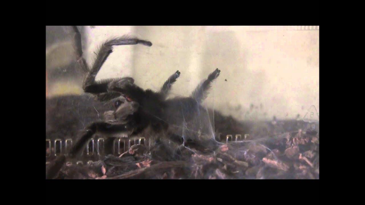 Tarantula Web Spinning Trinidad Chevron Tarantula Web