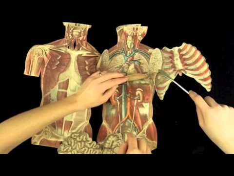 Witkowski - Human anatomy and physiology. Torso.