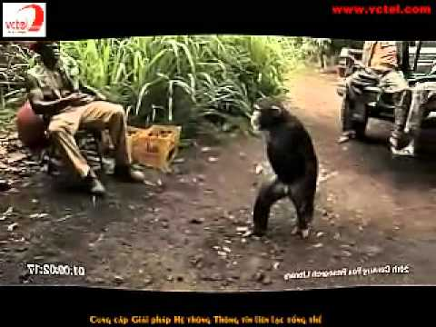 Chimpanzé armado Music Videos