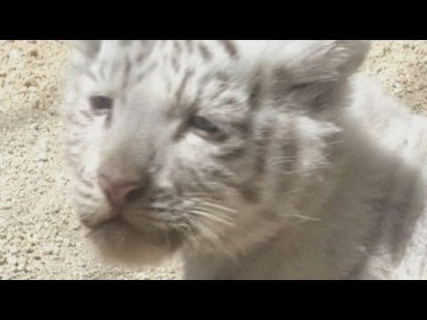 Baby white tiger cubs on show at Tokyo zoo