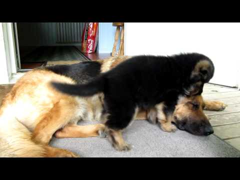 German shepherd puppy - Playing with mom