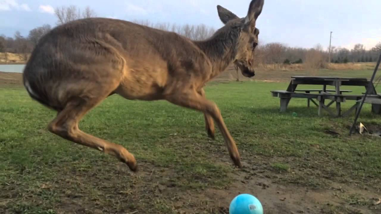 Little Deer Getting Crazy With A Ball