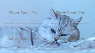British chinchilla cat playing