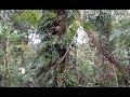 mikat burung di hutan ini banyak banget burung nya