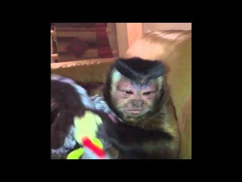 オジサン的な猿がおもちゃを手放してくれません(笑)ヤダコレ!?リーゼント!?