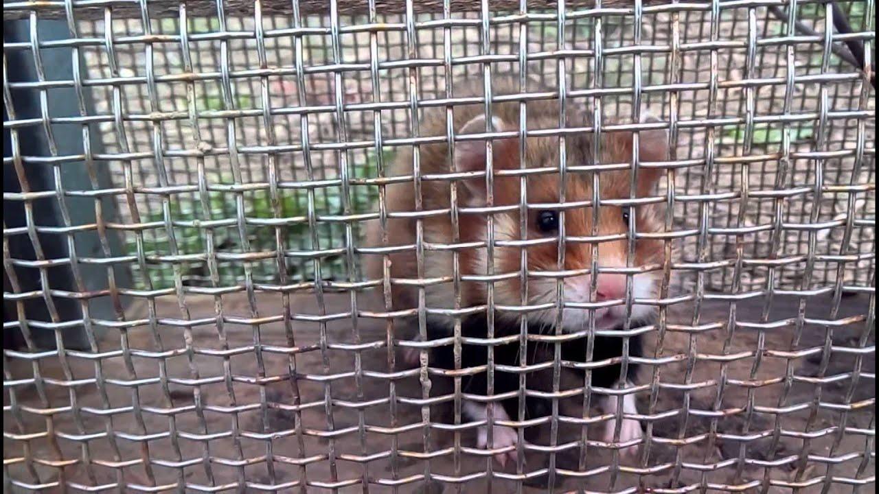 Ловушка для крыс 25