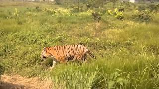 Tiger at Bangabandhu Safari Park, Gazipur, রয়েল বেঙ্গল টাইগার, বঙ্গবন্ধু সাফারি পার্ক, গাজীপুর