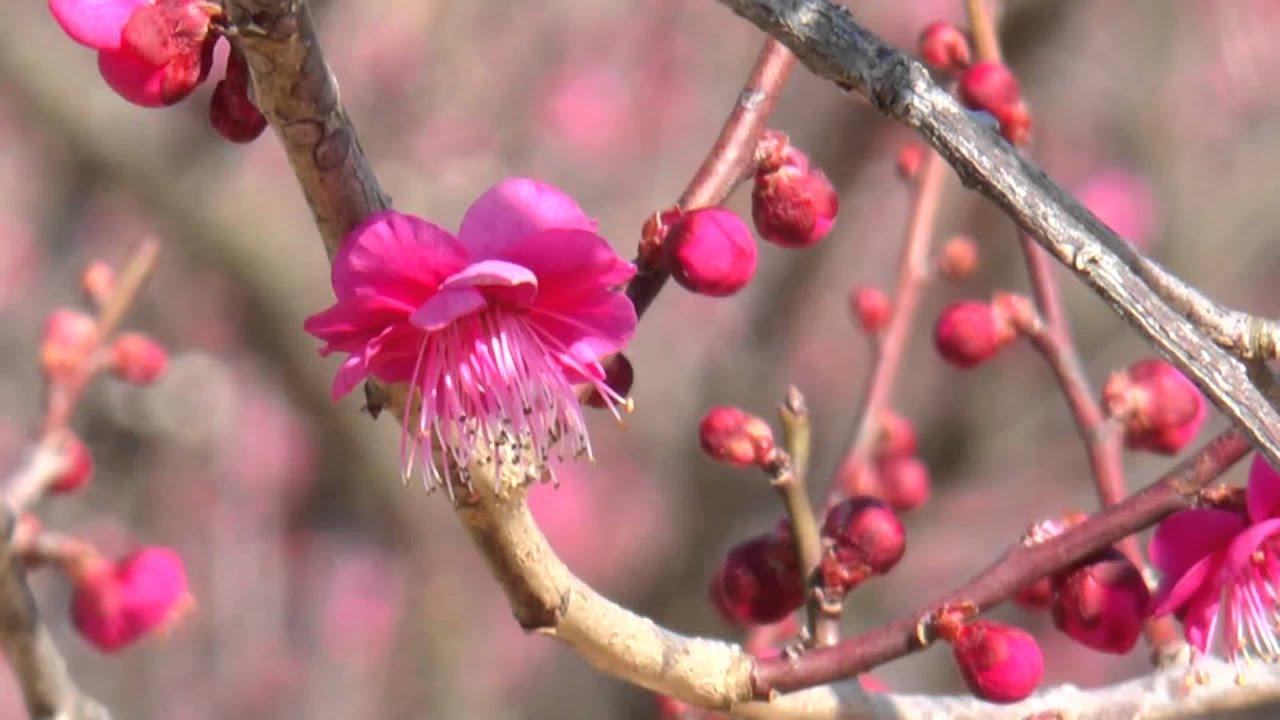 梅の画像 p1_31
