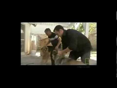 How To Handle A Dog Fight - Cesar Millan video
