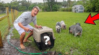 The *NEW* PET PIG for My FARM!!