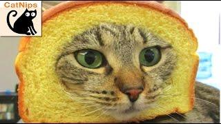 100 Hilarious Cats!   CatNips