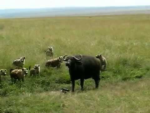 Hyenas Kill Baby Cape Buffalo - HARD TO WATCH